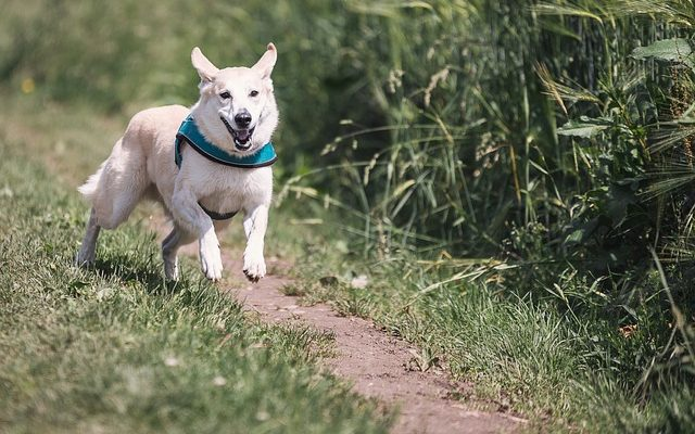 Kutyanevelés